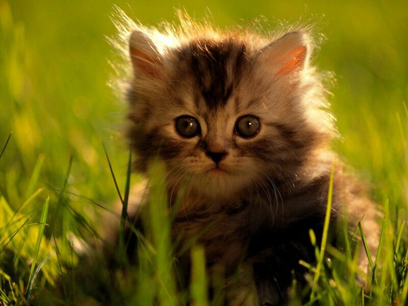 Petit chaton - Petit chaton gratuit ...